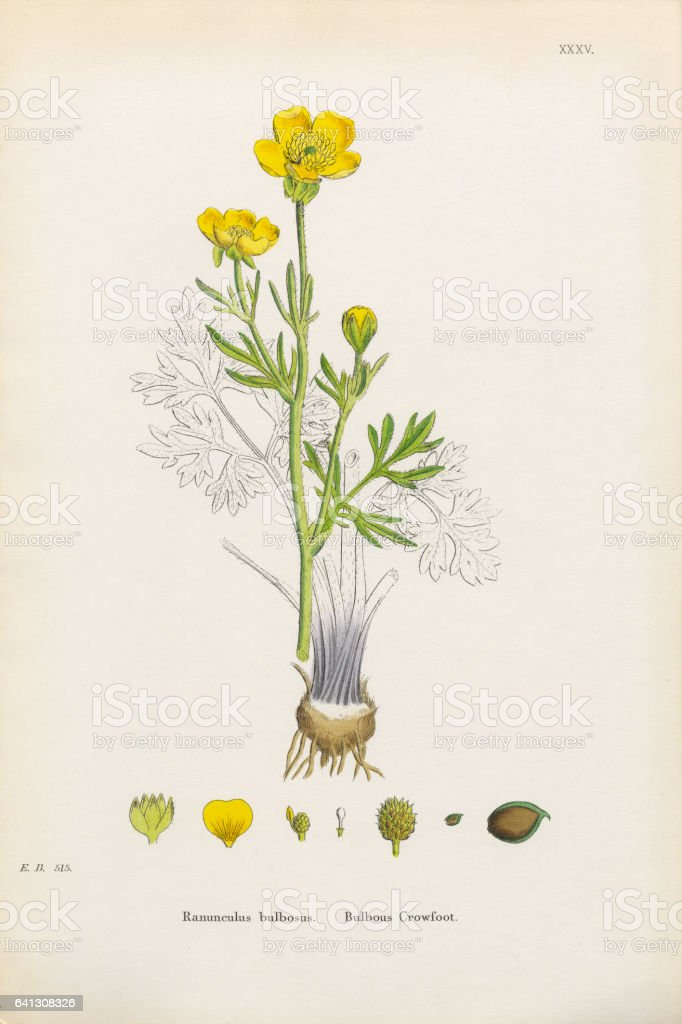 Bulbous Crowfoot, Ranunculus bulbosus, Victorian Botanical Illustration, 1863 vector art illustration