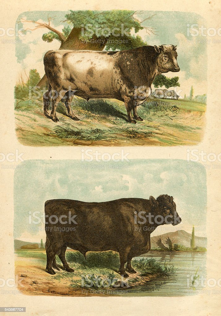 Bull cow cattle engraving 1880 stock photo