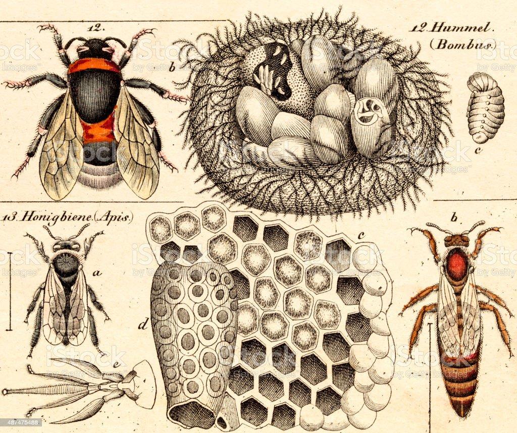 bumble bees, 19 century science illustration vector art illustration