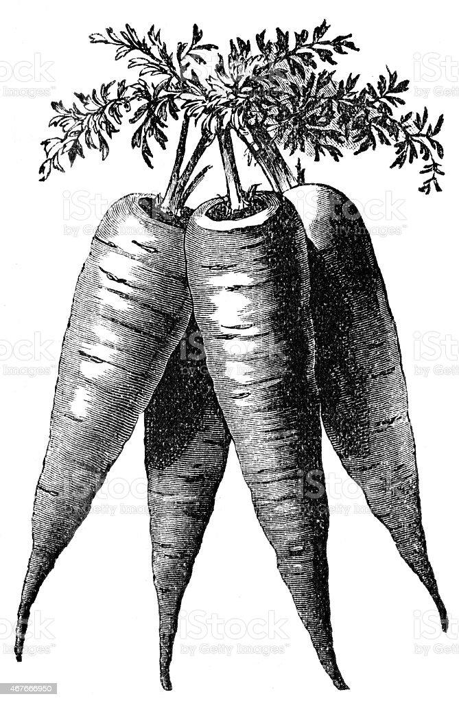bunch of carrot vector art illustration