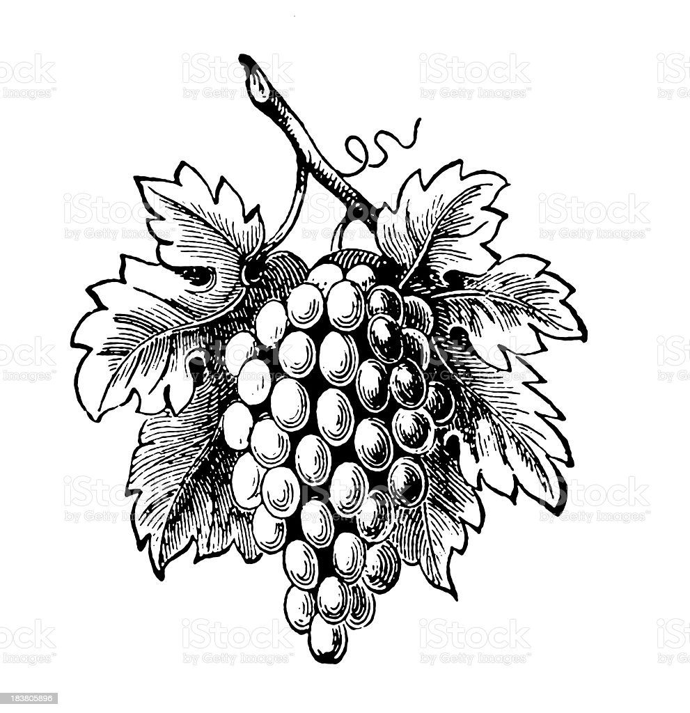 Bunch of grape | Antique Design Illustrations royalty-free stock vector art
