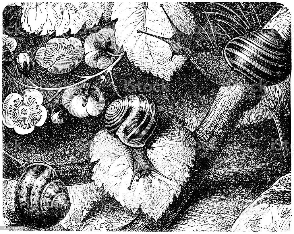 Burgundy snail or escargot (Helix pomatia) vector art illustration