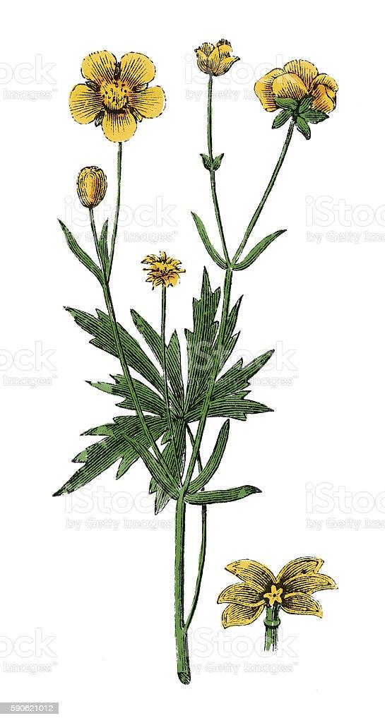 Buttercup (antique botanical engraving) vector art illustration