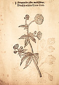 Buttercups flower handcolored illustration by Gerard 1633