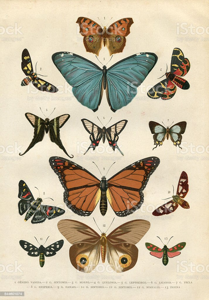Butterfly Hesperia illustration 1881 stock photo