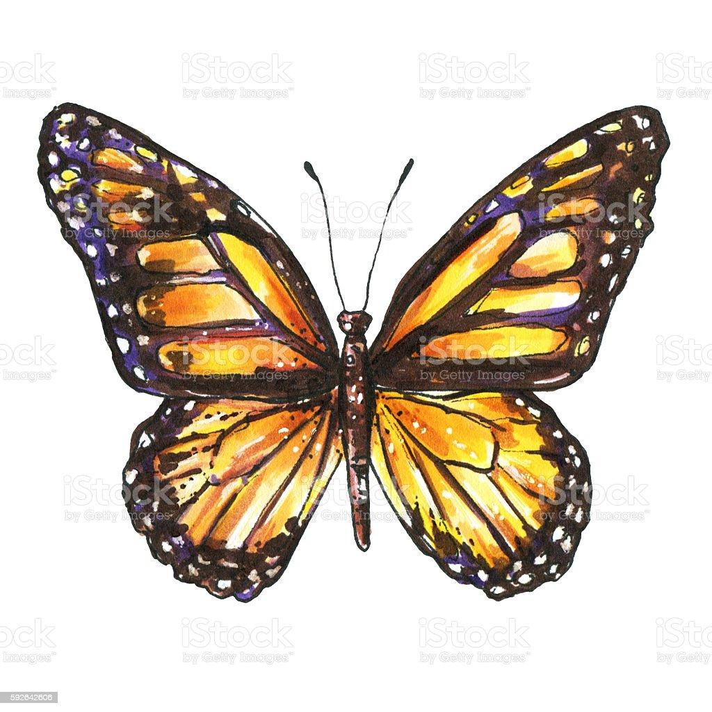 Butterfly, Monarch, Milkweed, Wanderer, Danaus plexippus. Watercolor butterfly vector art illustration