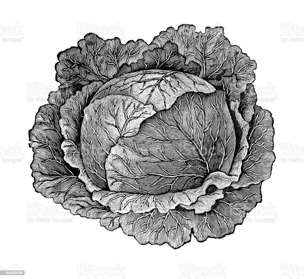 Cabbage Head Illustration   Vintage Farmer Garden Vegetable Clipart royalty-free stock vector art