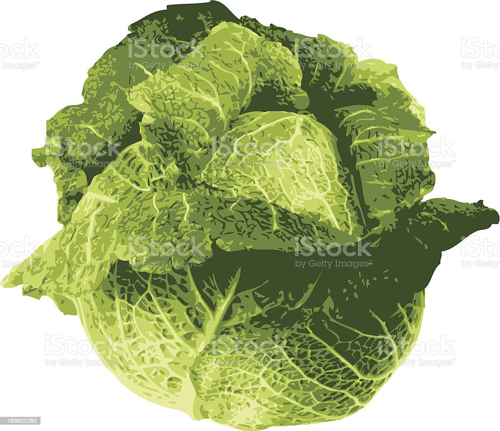 cabbage vector illustration royalty-free stock vector art