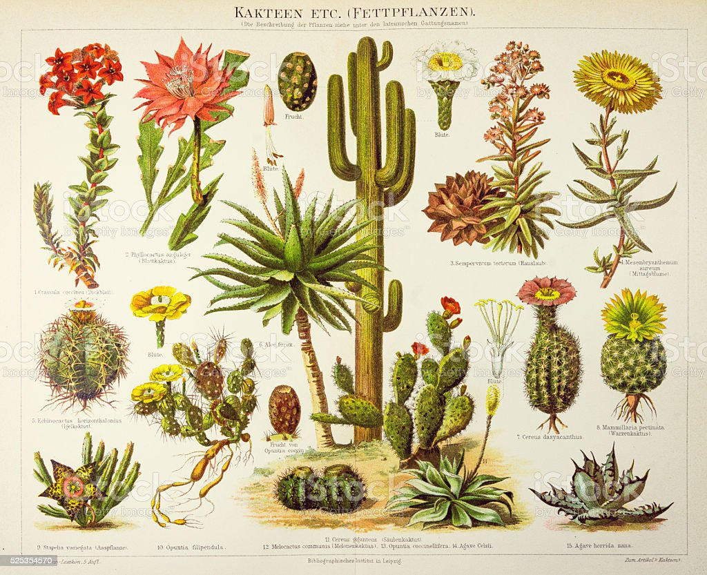 Cactus engraving 1895 vector art illustration