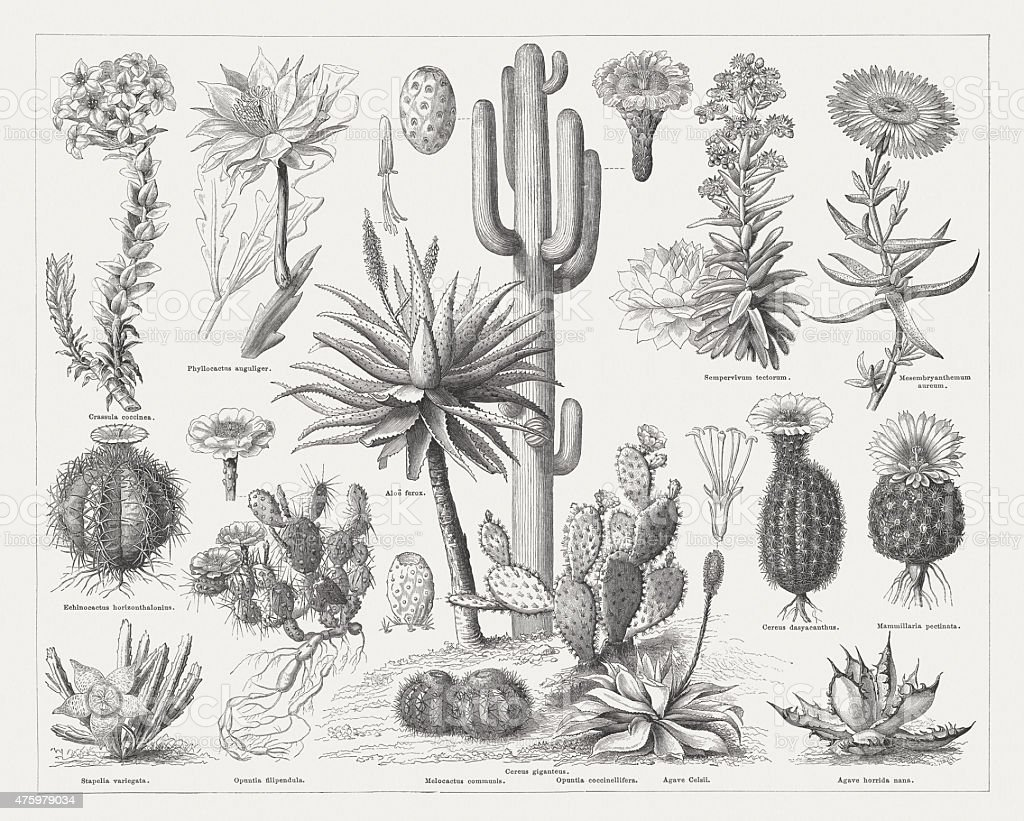 Cactuses, wood engravings, published in 1876 vector art illustration
