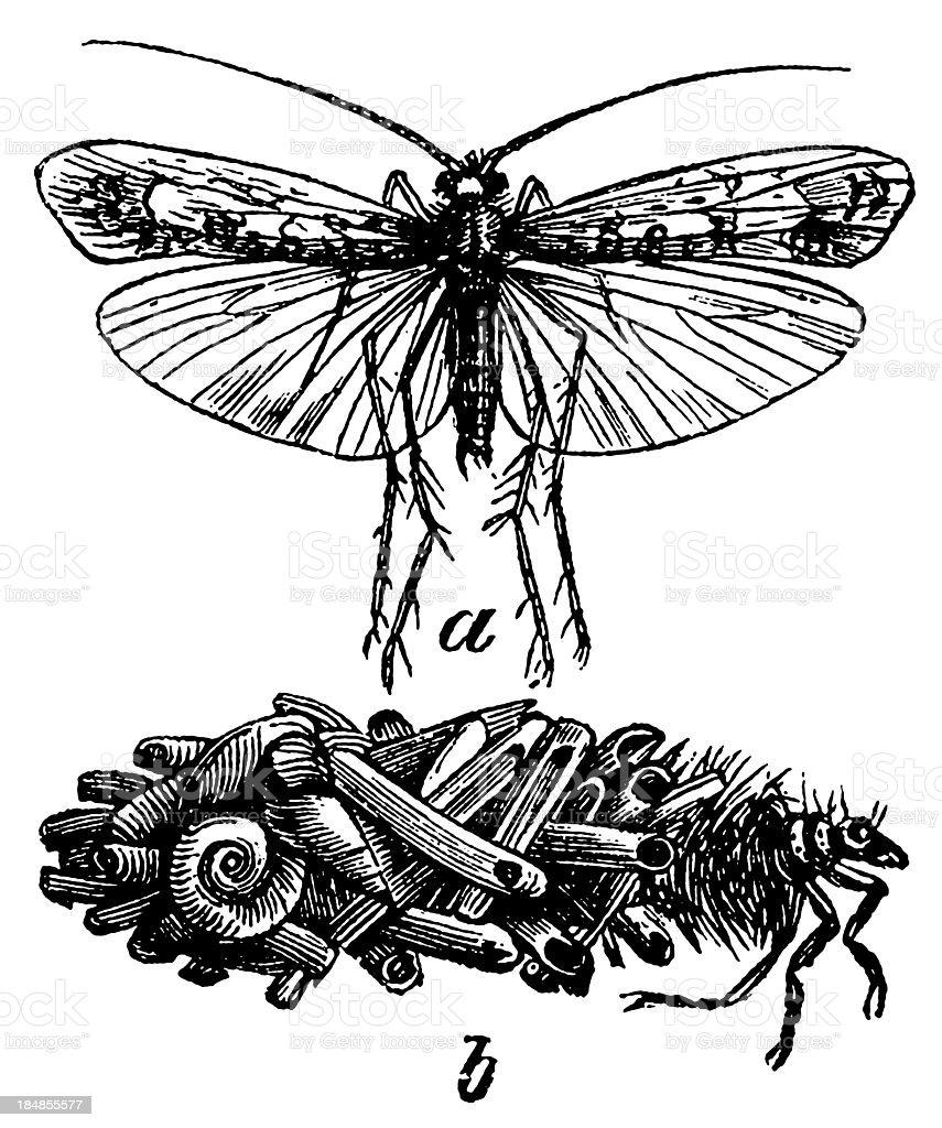 Caddis Fly (Phryganea Flavicornis) vector art illustration