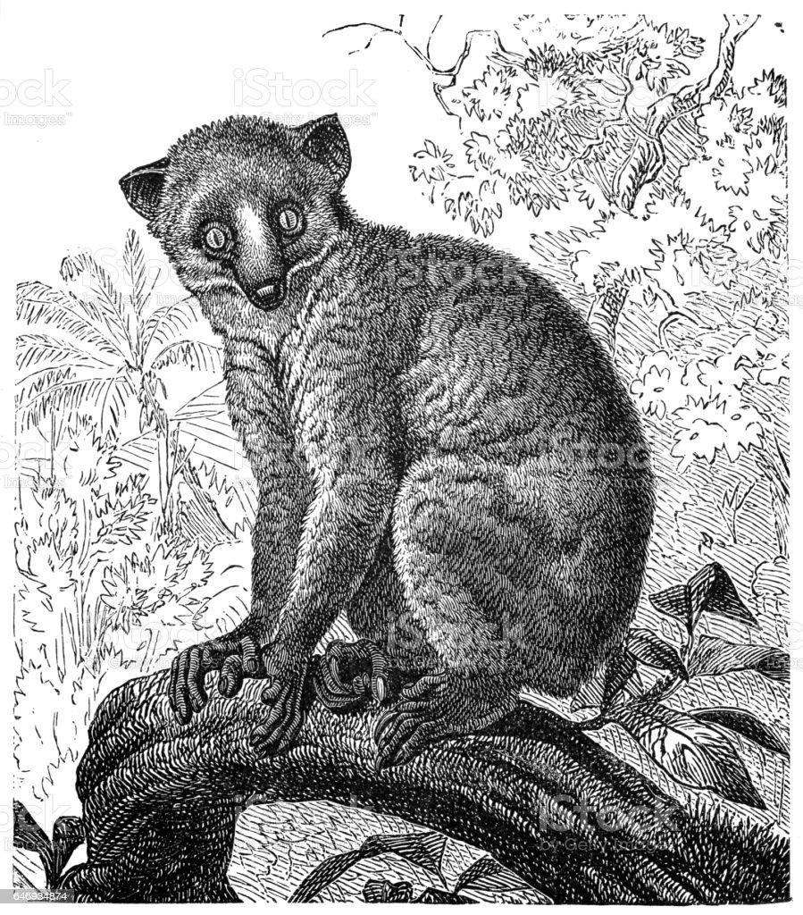 Calabar angwantibo (Arctocebus calabarensis) vector art illustration