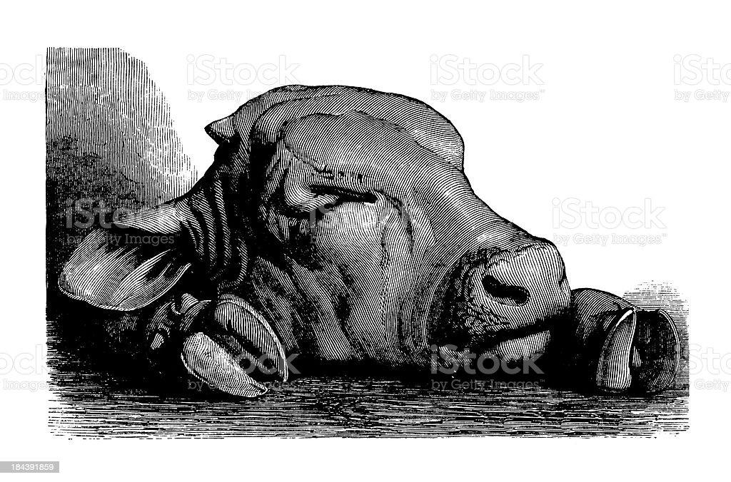 Calf head and hoofs | Antique Culinary Illustrations vector art illustration