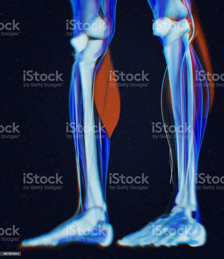 Calf muscles, human anatomy, gastrocnemius. 3d illustration vector art illustration