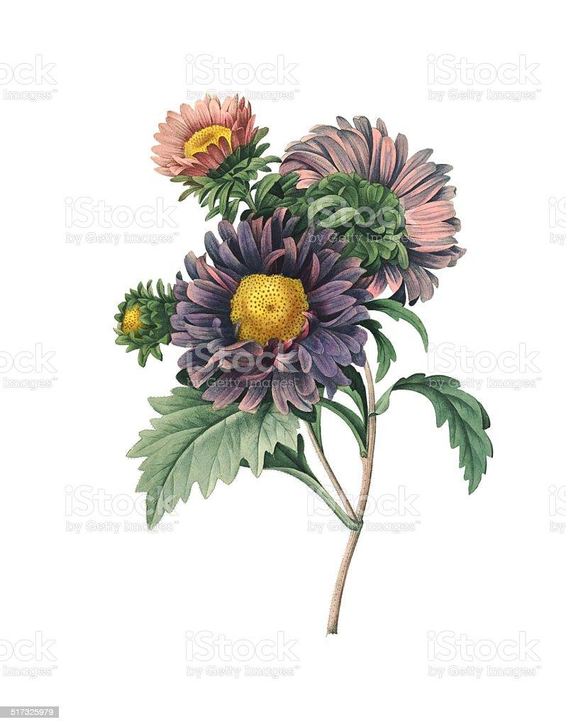 Callistephus | Redoute Flower Illustrations vector art illustration