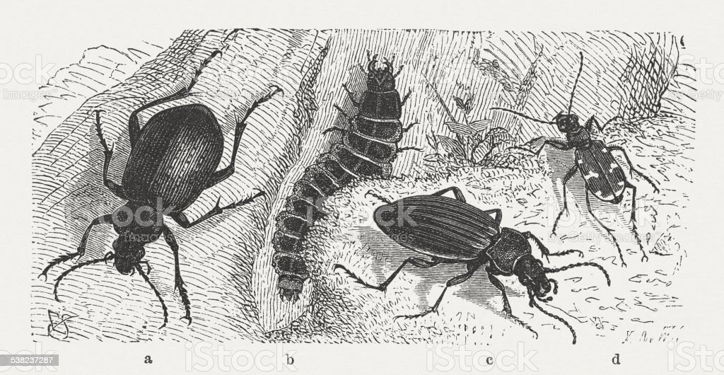 Calosoma vector art illustration