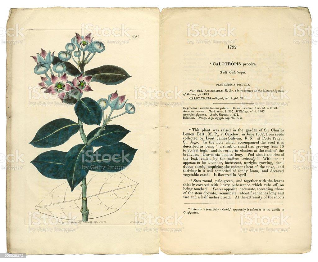 Calotropis Procera Victorian Botanical Illustration, Tall Calotropis, Apocynaceae, 1835 vector art illustration