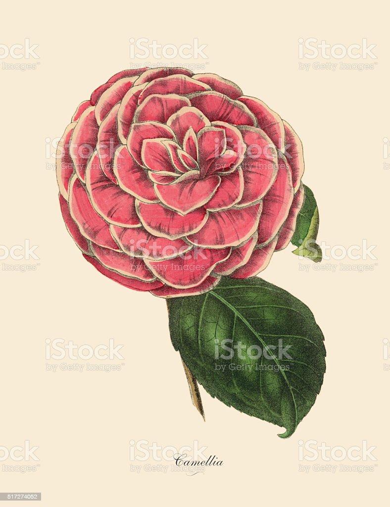 Camellia, Pink Camellia Plant, Victorian Botanical Illustration vector art illustration
