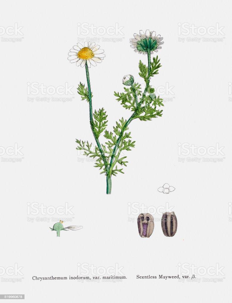 Camomile plant 19th century illustration vector art illustration