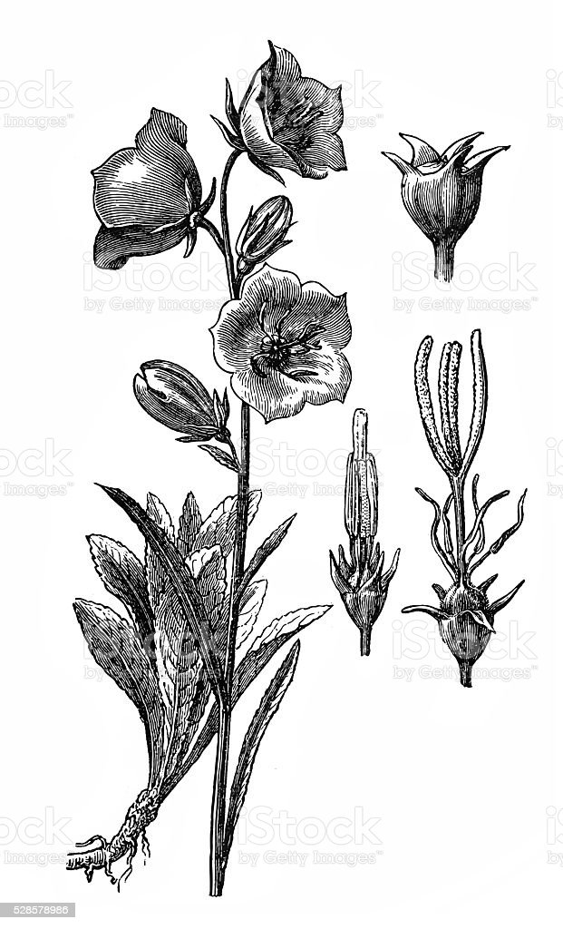 Campanula persicifolia (peach-leaved bellflower) vector art illustration