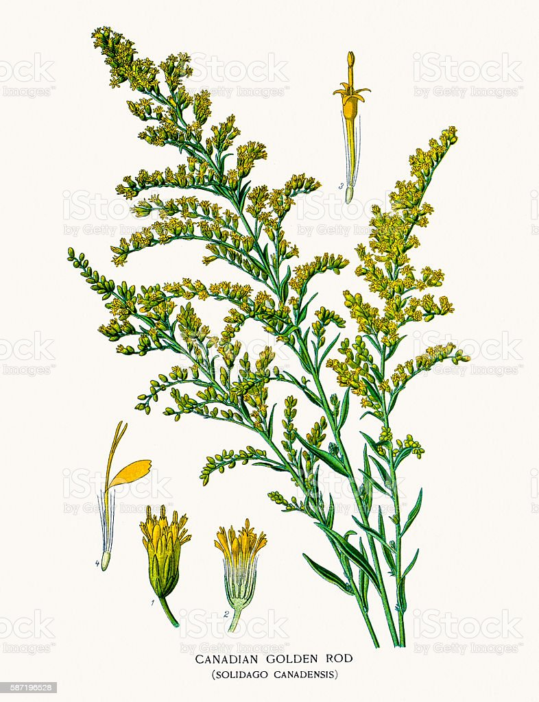 Canada goldenrod vector art illustration