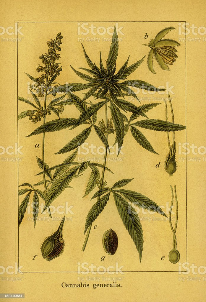 Cannabis   Antique Botanical Illustrations vector art illustration