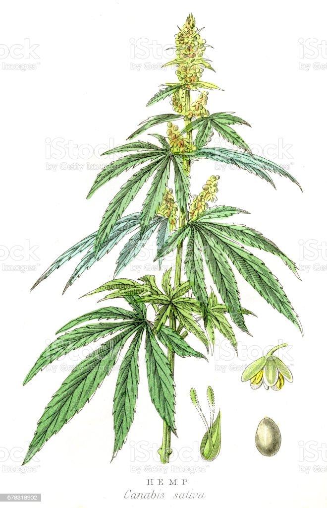 Cannabis plant botanical engraving 1857 vector art illustration