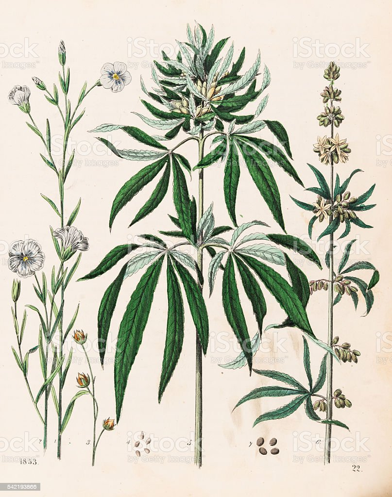 Cannabis plant illustration 1853 vector art illustration