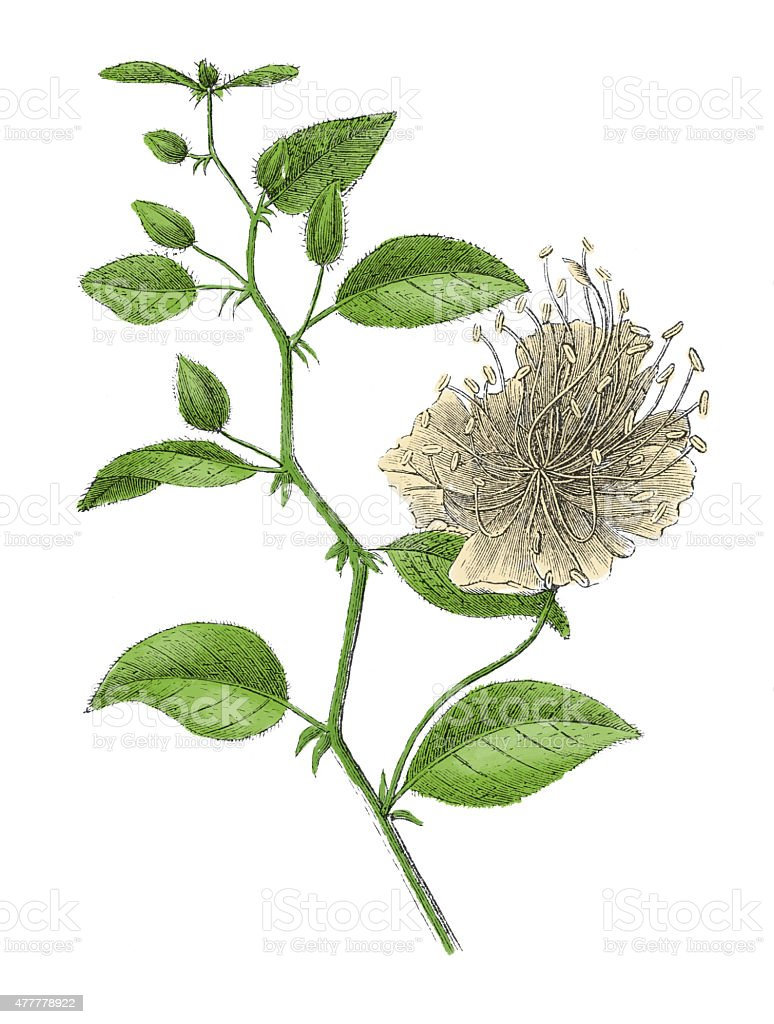Capparis spinosa (antique botanical engraving) vector art illustration