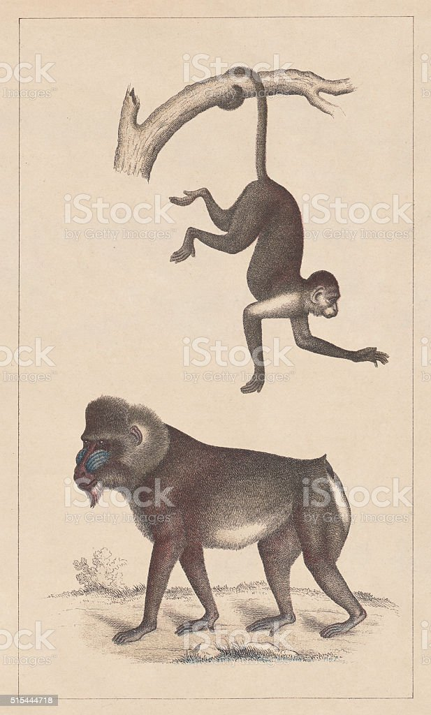 Capuchin and Mandrill, lithograph, published in 1873 vector art illustration