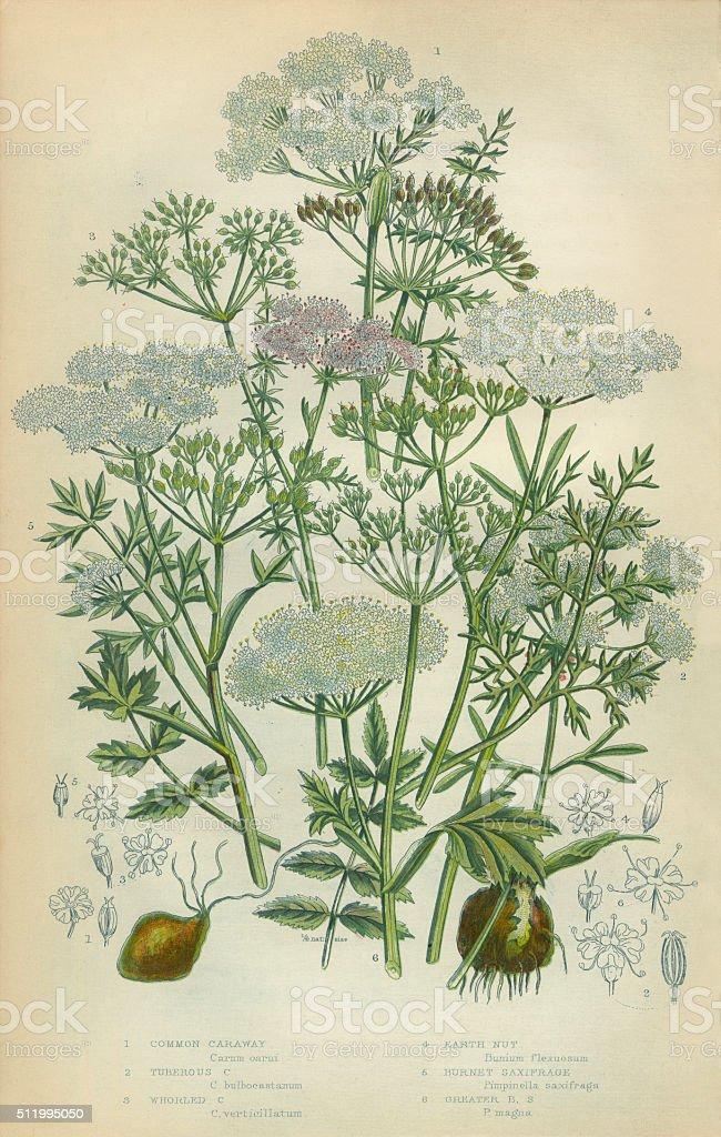 Caraway, Seed, Earthnut, Saxifrage, Rockfoil, Victorian Botanical Illustration vector art illustration