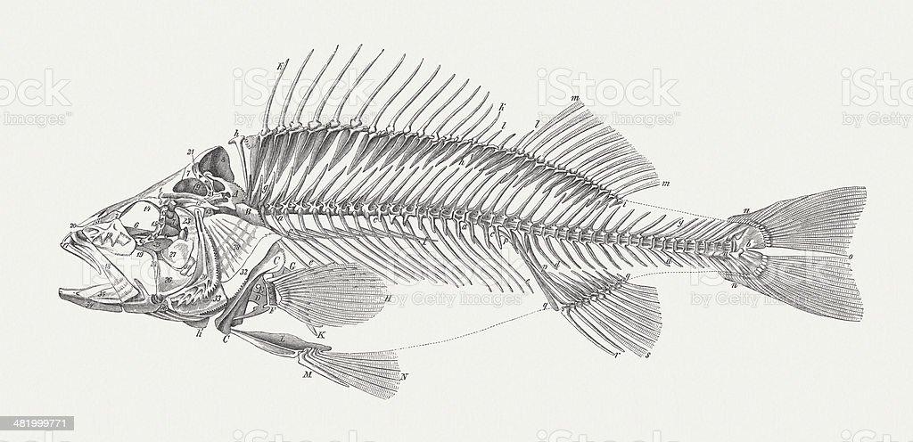 Carcass of a perch (Perca fluviatilis), wood engraving, published 1884 vector art illustration