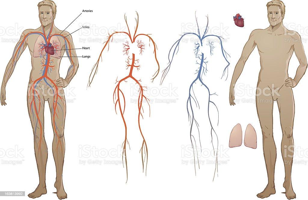 Cardiovascular Diagram royalty-free stock vector art
