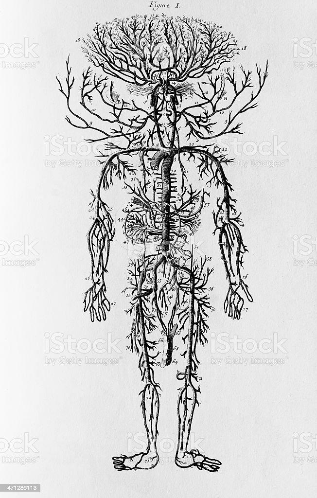 Cardiovascular System engrave vector art illustration