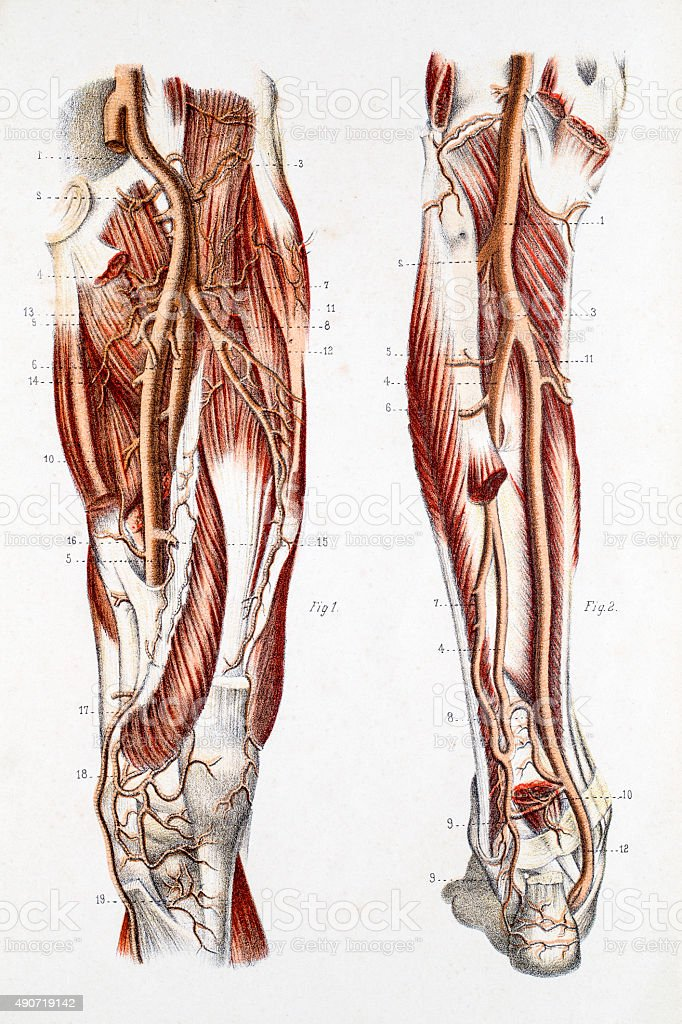 Cardiovascular System of the Leg and Foot vector art illustration