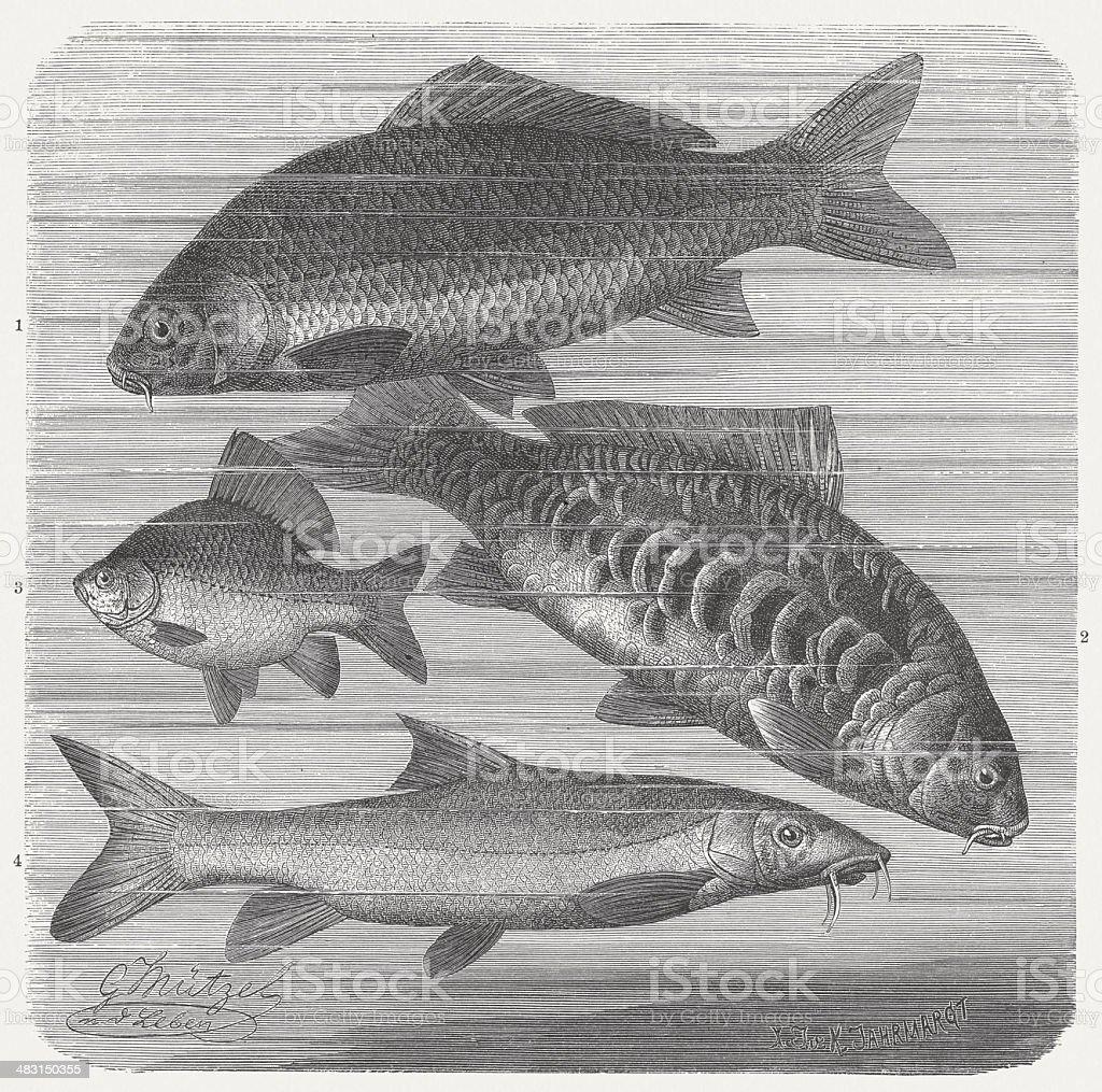 Carp fishes vector art illustration