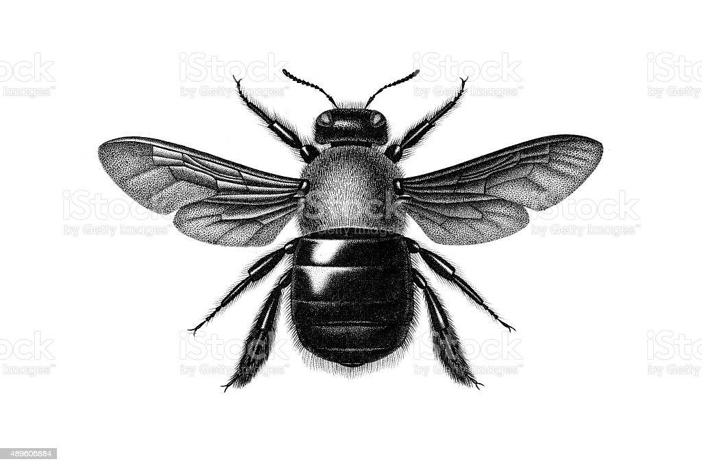 Carpenter bee vector art illustration