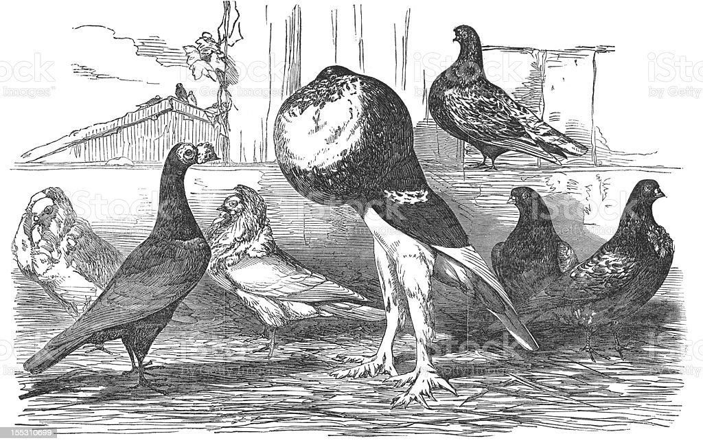 Carrier Jacobins Pouter Almond Tucker Pigeons 19th Century Engraving vector art illustration