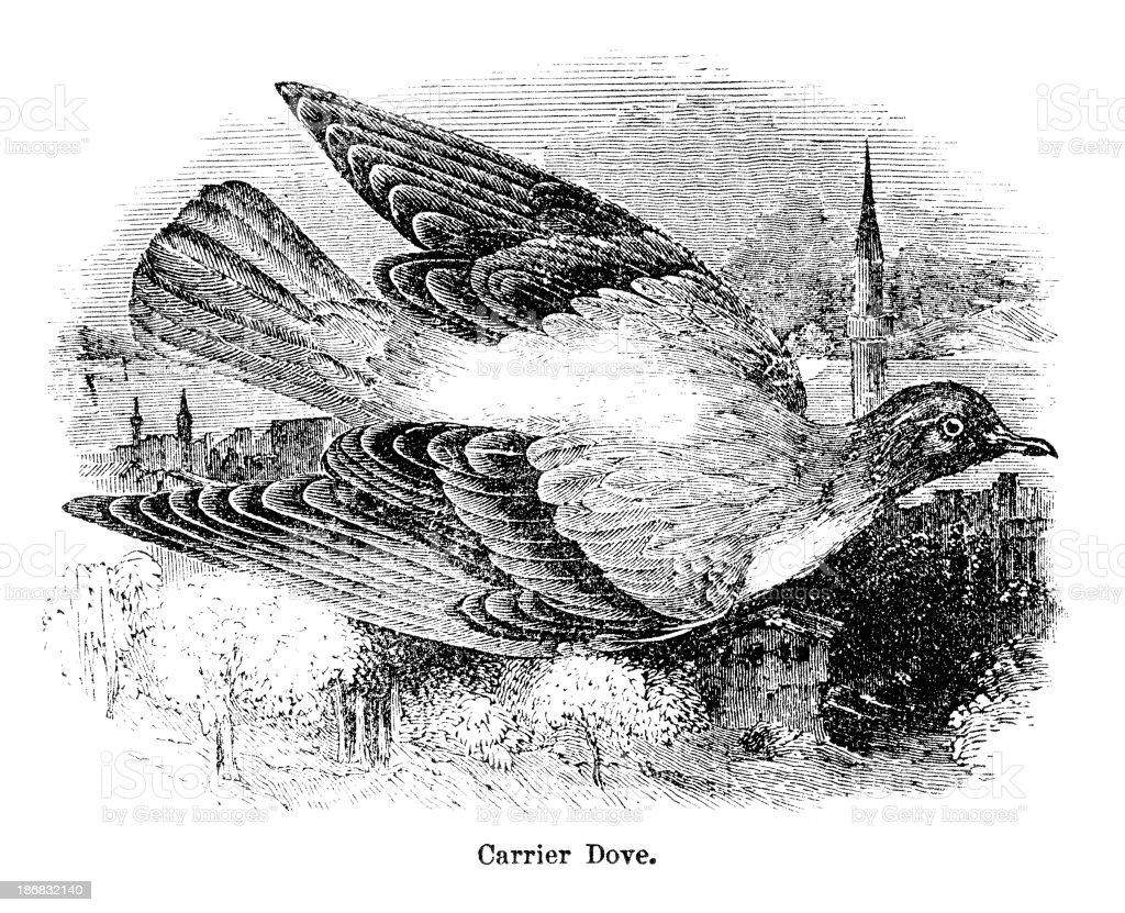 carrier pigeon engraving vector art illustration