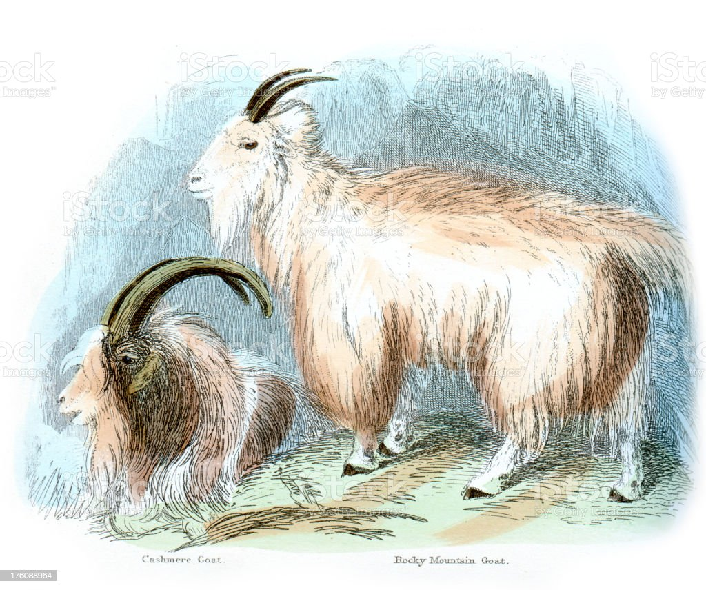 Cashmere and Rocky Mountain Goat vector art illustration