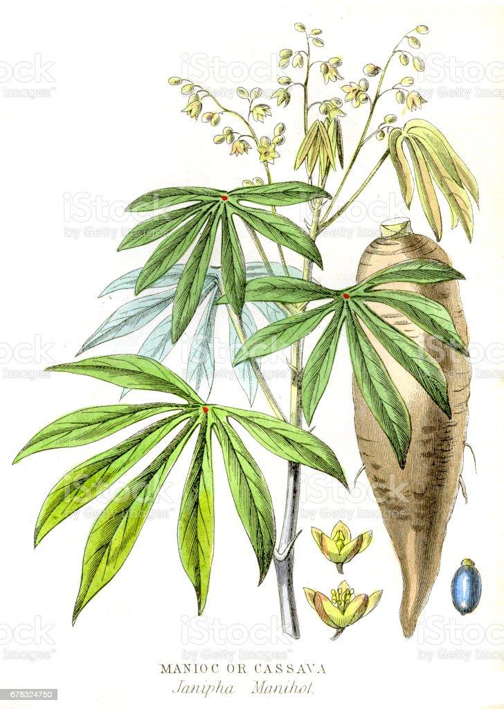 Cassava Yuca engraving 1857 vector art illustration