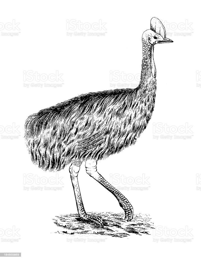 Cassowary | Antique Bird Illustrations royalty-free stock vector art