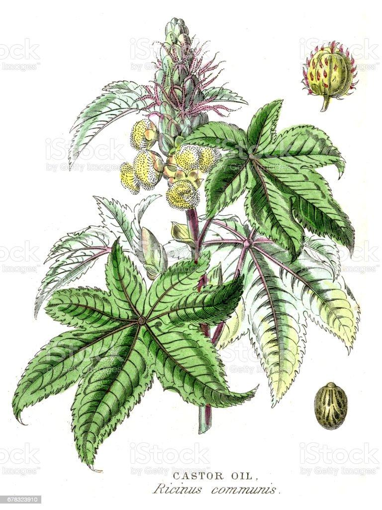 Castor Oil botanical engraving 1857 vector art illustration