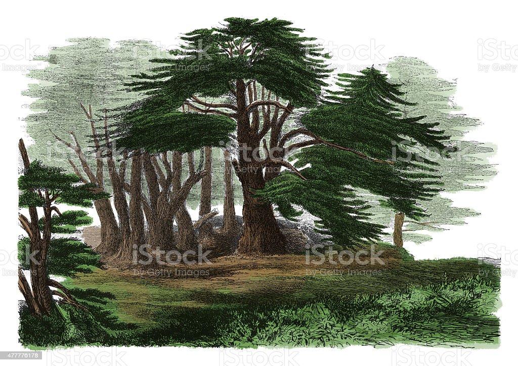 Cedrus libani (antique botanical engraving) vector art illustration