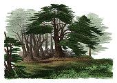Cedrus libani (antique botanical engraving)