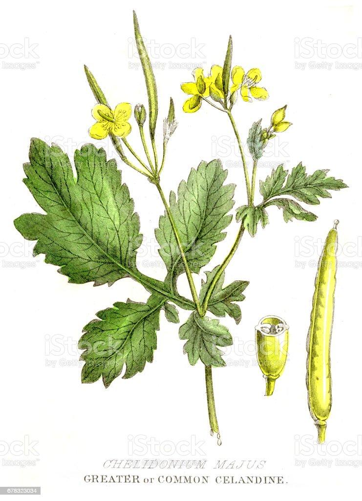 Celandine poison plant engraving 1857 vector art illustration