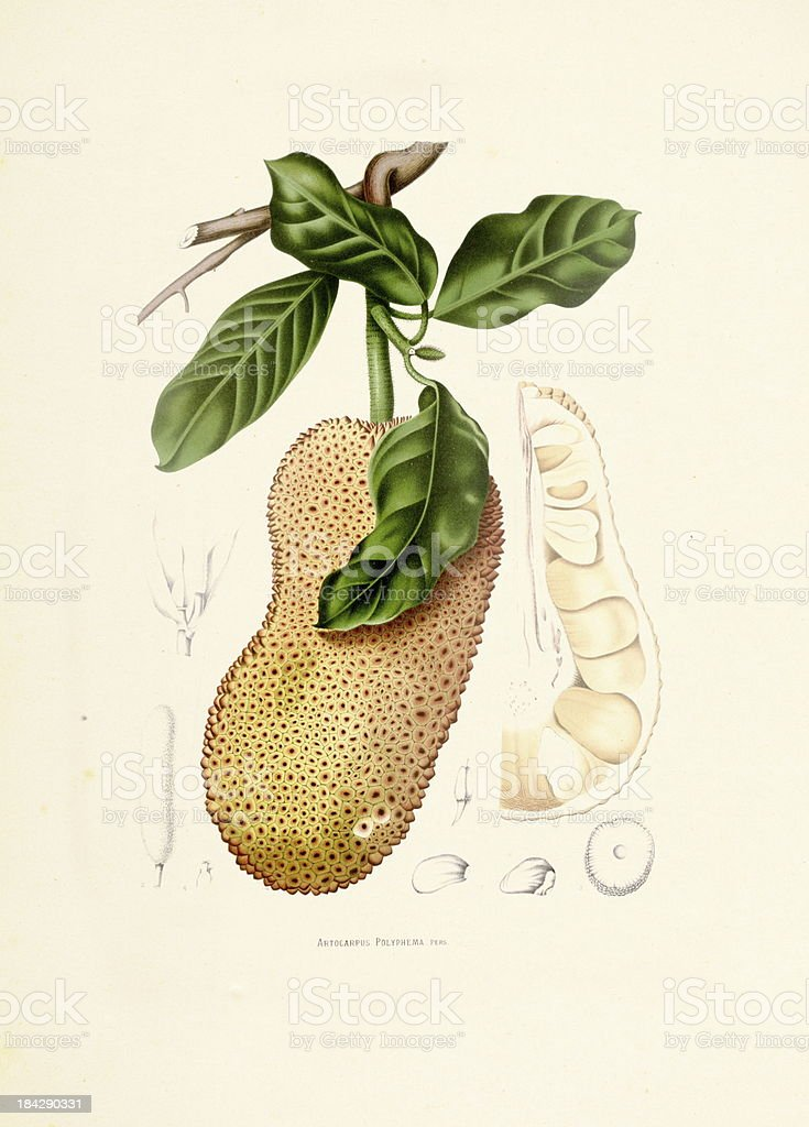 Cempedak | Antique Plant Illustrations vector art illustration