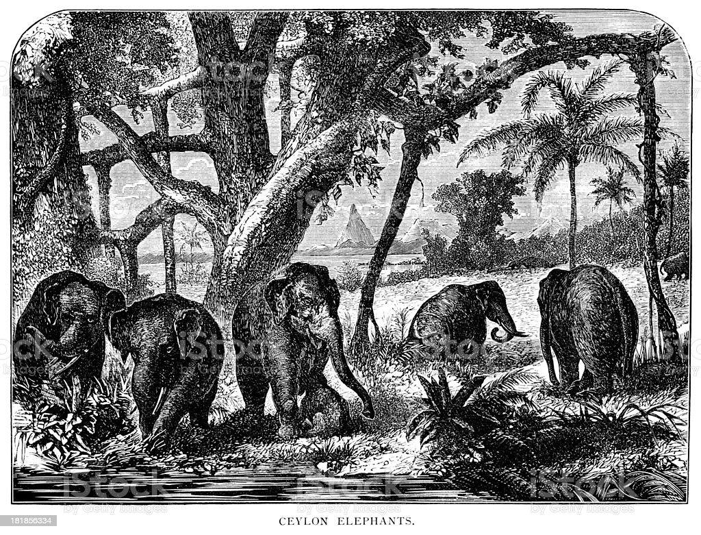 Ceylon elephants - Victorian engraving royalty-free stock vector art
