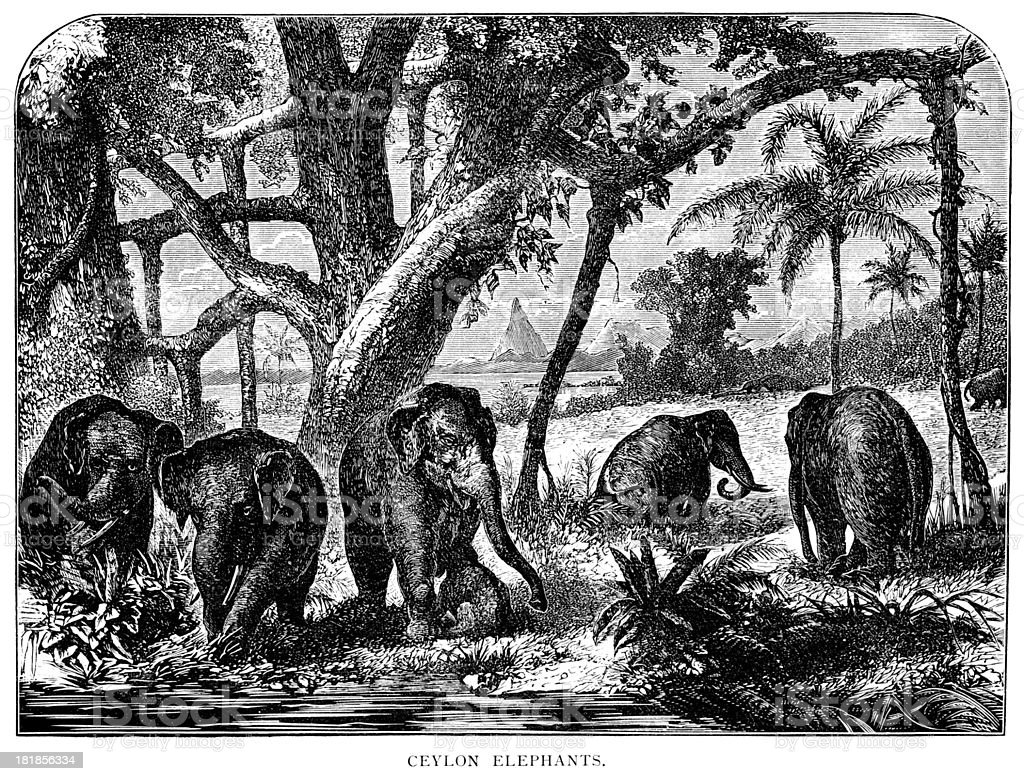 Ceylon elephants - Victorian engraving vector art illustration