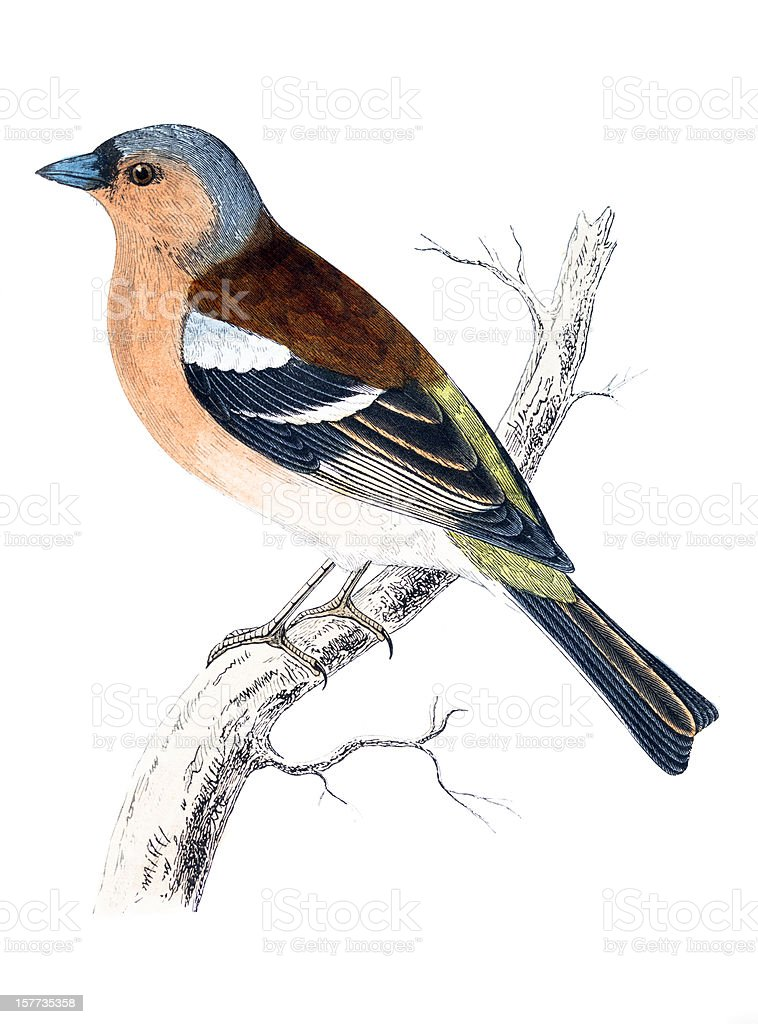 Chaffinch - Hand Coloured Engraving royalty-free stock vector art